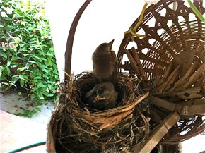 Yellow-vented Bulbul nesting in a hanging basket