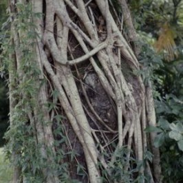 Strangling figs and their host trees
