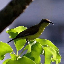 Christmas sunbird story: 2. A Brown-throated Sunbird appeared