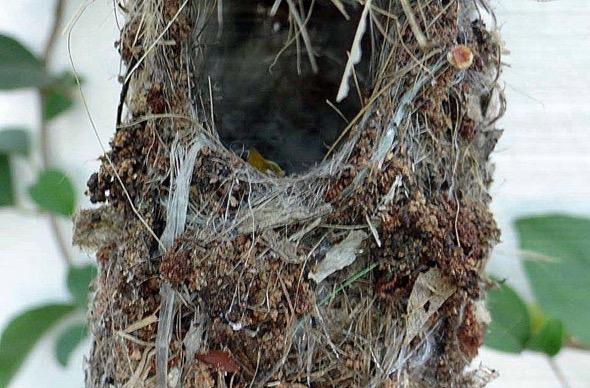 sunbird Nest [HenriettaJansen] 15