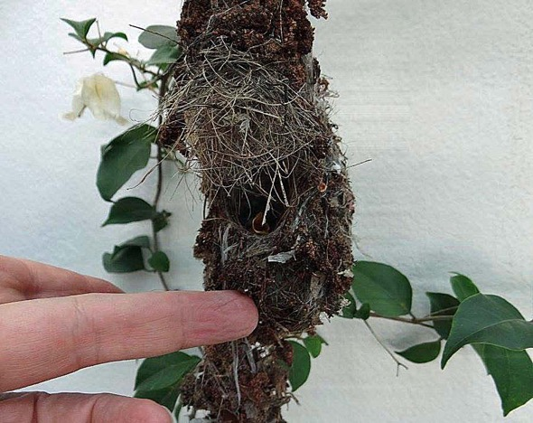 sunbird Nest [HenriettaJansen] 16