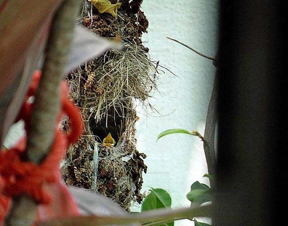 sunbird Nest [HenriettaJansen] 18