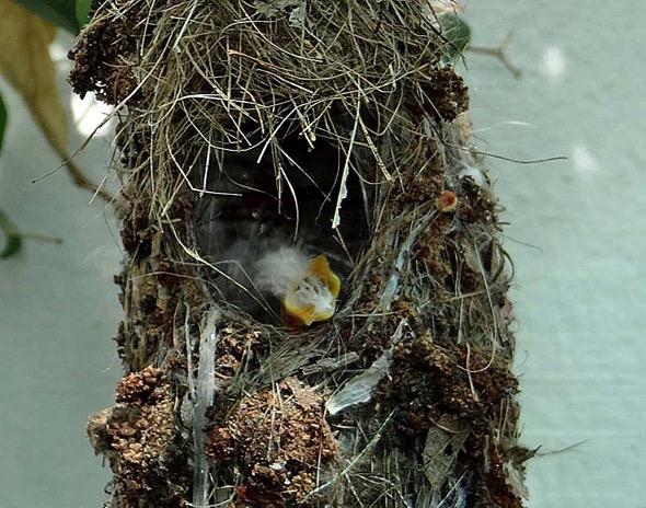 sunbird Nest [HenriettaJansen] 22