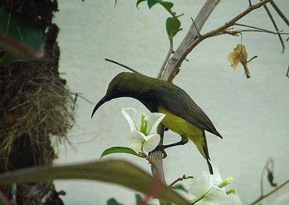 sunbird Nest [HenriettaJansen] 4