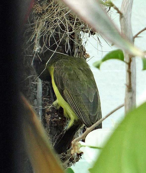 sunbird Nest [HenriettaJansen] 8