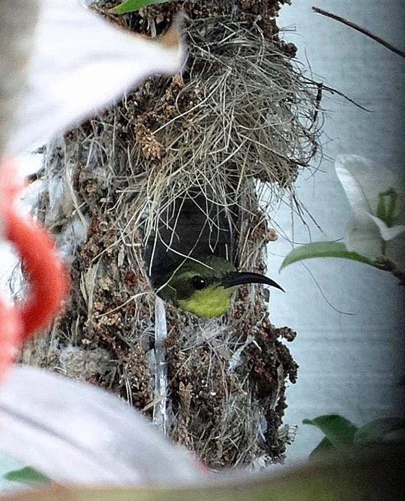 sunbird Nest [HenriettaJansen] 9