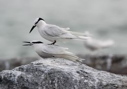 Black-naped Tern's unsuccessful attempt at copulation
