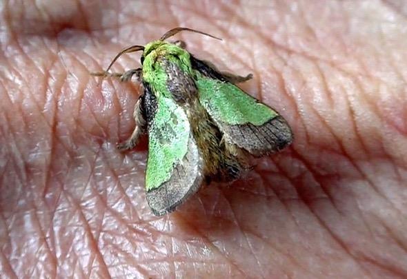 5     BSNettleGrub-moth [wyc]