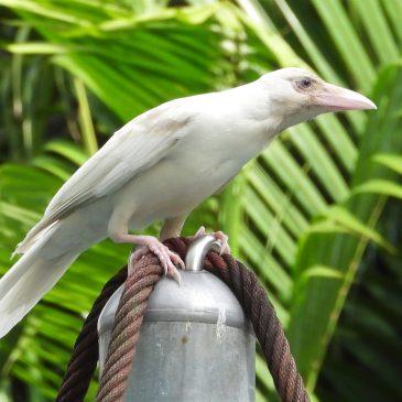 Leucistic house crow (Corvus splendens) spotted at Bedok, Singapore