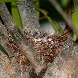 Down memory lane: Nesting of Zebra Doves